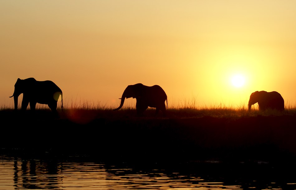 Elephants_in_sunset.jpg