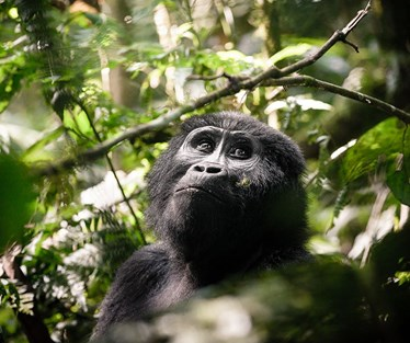 Photo of Gorilla Trekking